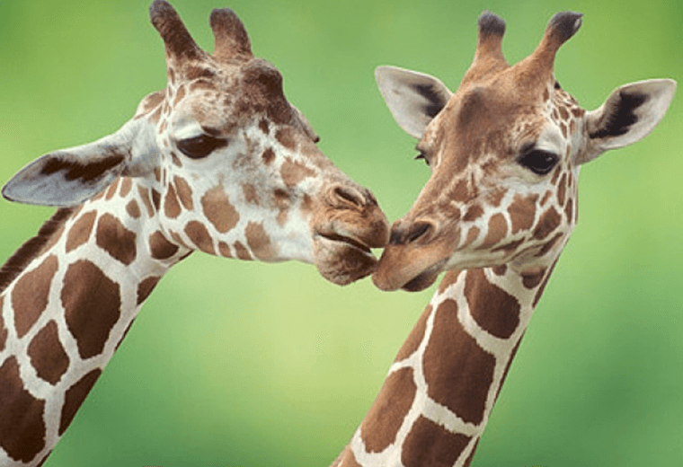 Mating is hard work for male giraffes.