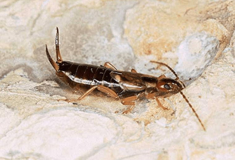 Earwigs have two penises.