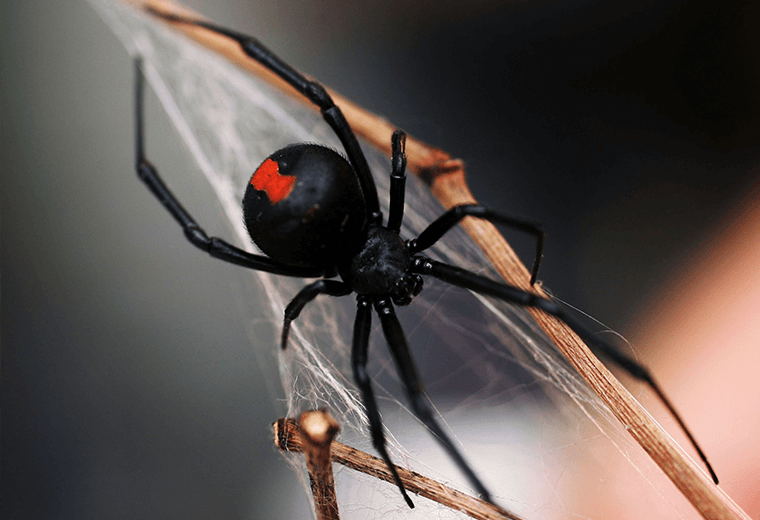 Black widow spider: universal term for a deadly female.