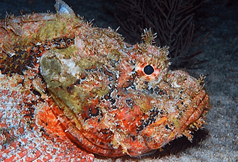 Scorpion fish: mostly found in tropical Indo-Pacific seas.