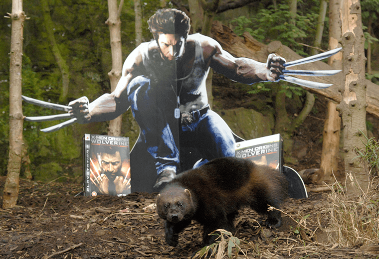 A cardboard cut out of Wolverine in the woods