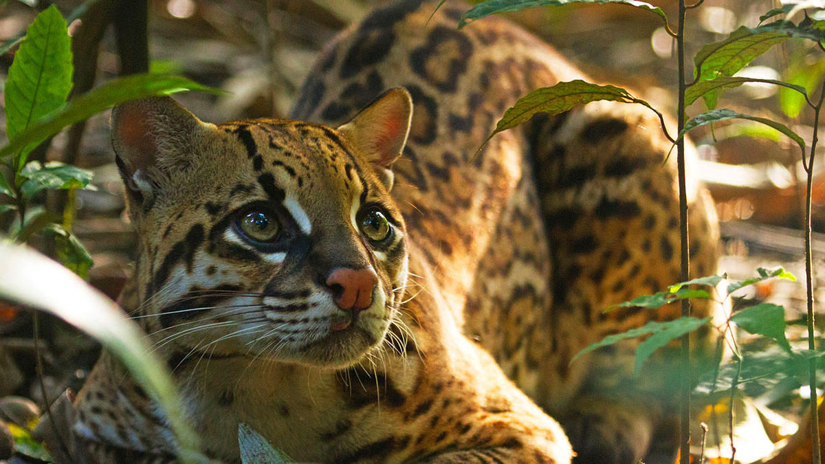 An Ocelot in the jungle