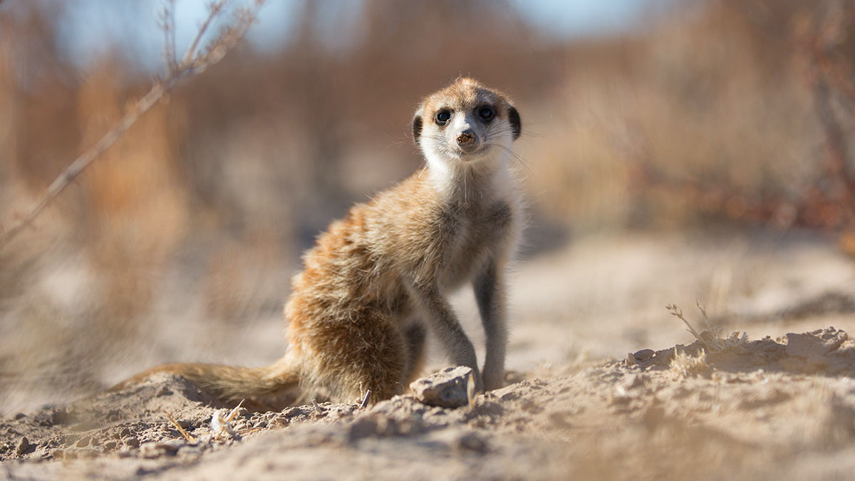 A meerkat in the desert